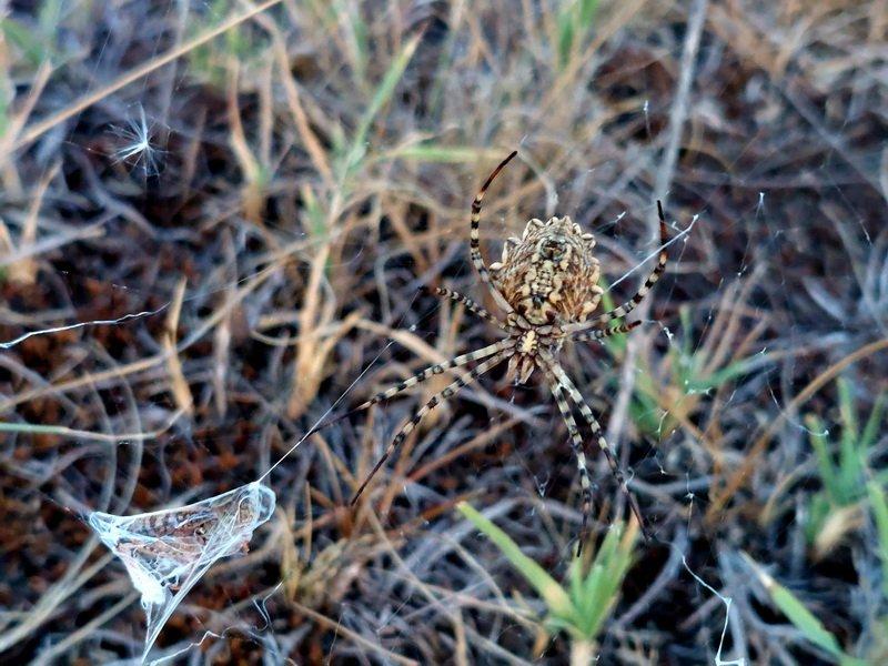 karéjos keresztespók
